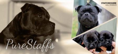 Opdrætter hjemmeside til Staffordshire Bullterrier hunde