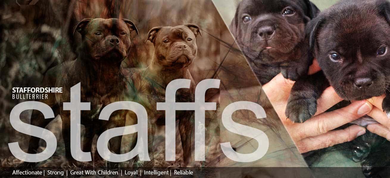 Opdrætter hjemmeside til Staffs Bullterrier hunde